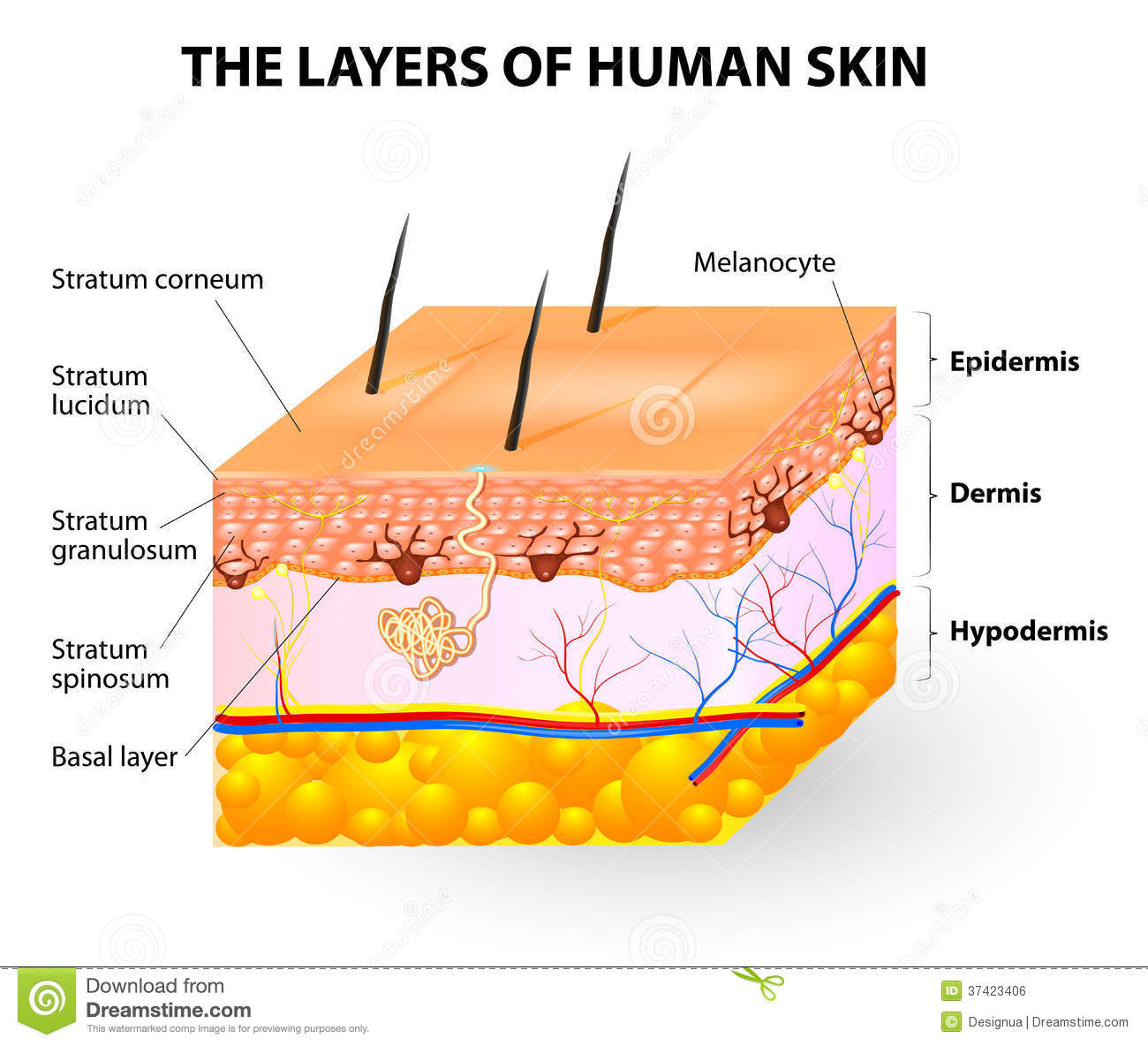 Layers Of Human Skin Melanocyte And Melanin Stock Vector