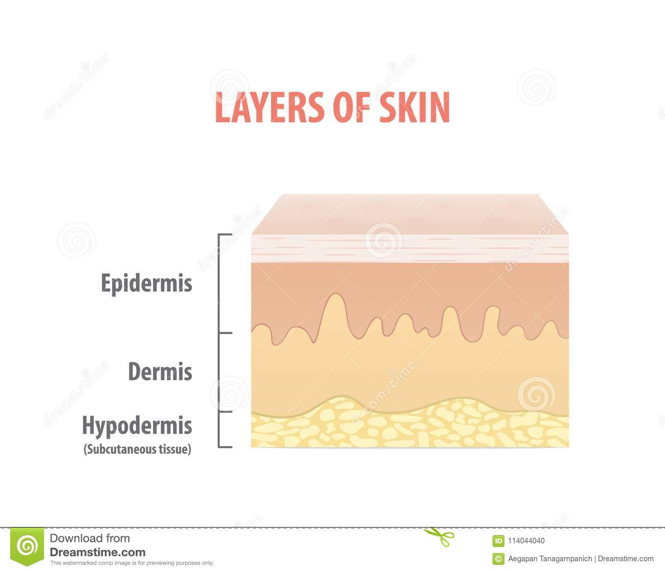 Layers Of Skin Diagram Illustration Vector On White Background