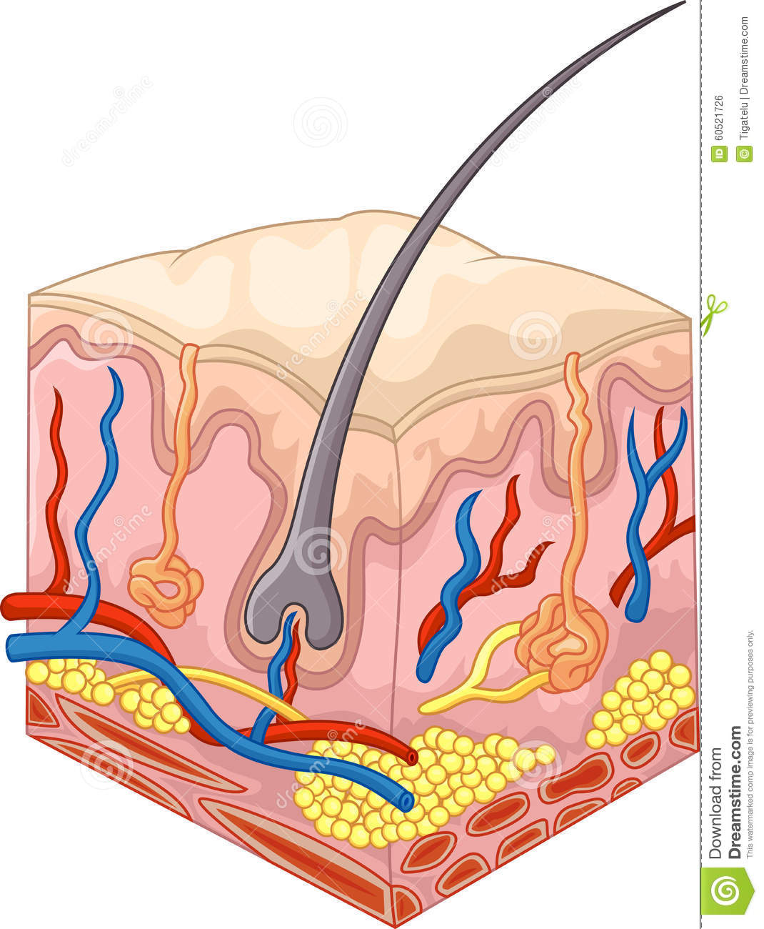 The Layers Of Skin And Pores Stock Illustration