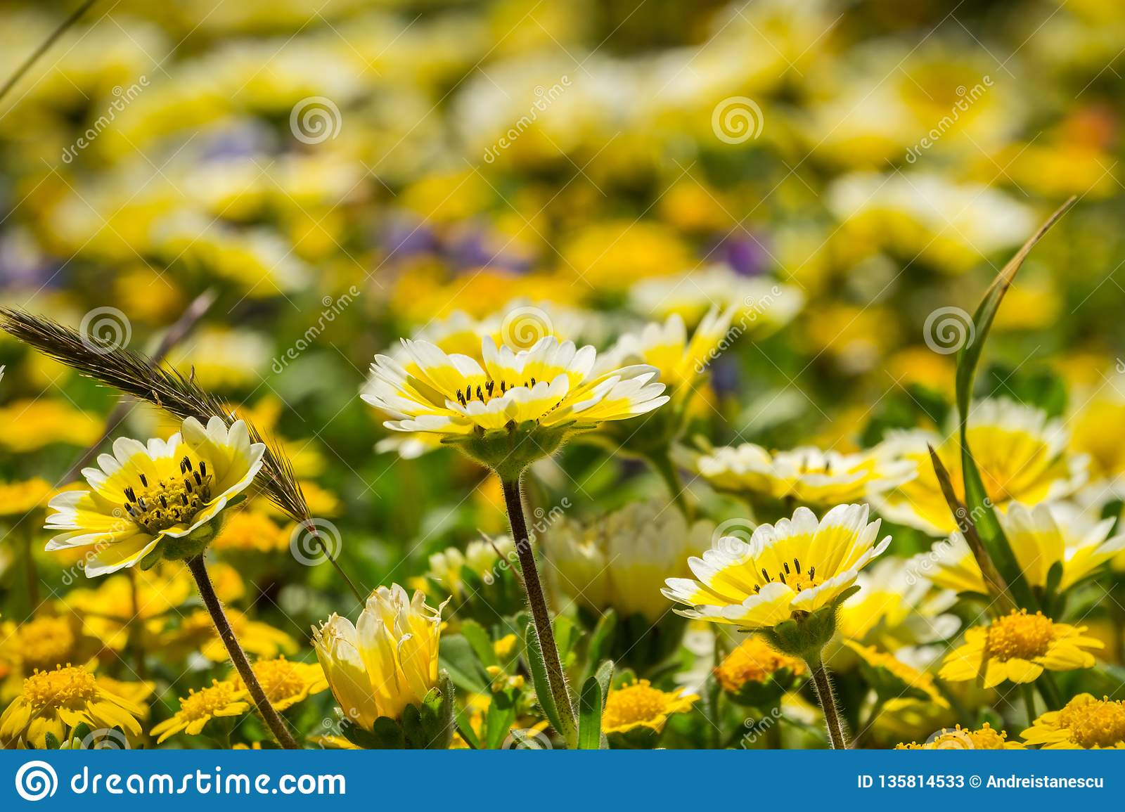 Layia platyglossa wildflowers commonly called coastal tidytips, blooming on the Pacific Ocean coast, Mori Point, Pacifica,