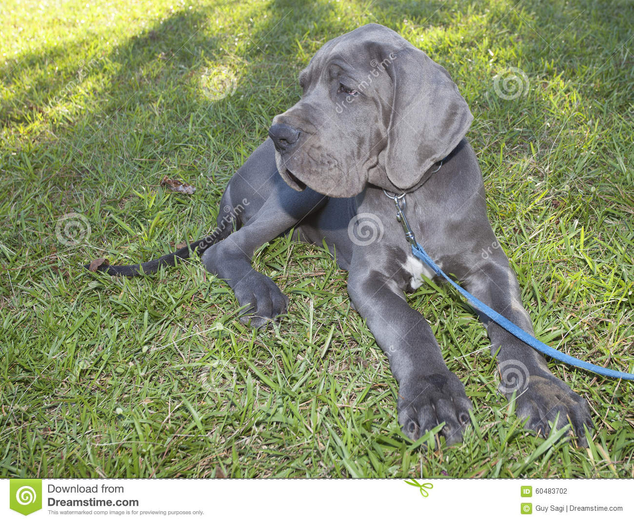 Gray great dane puppy