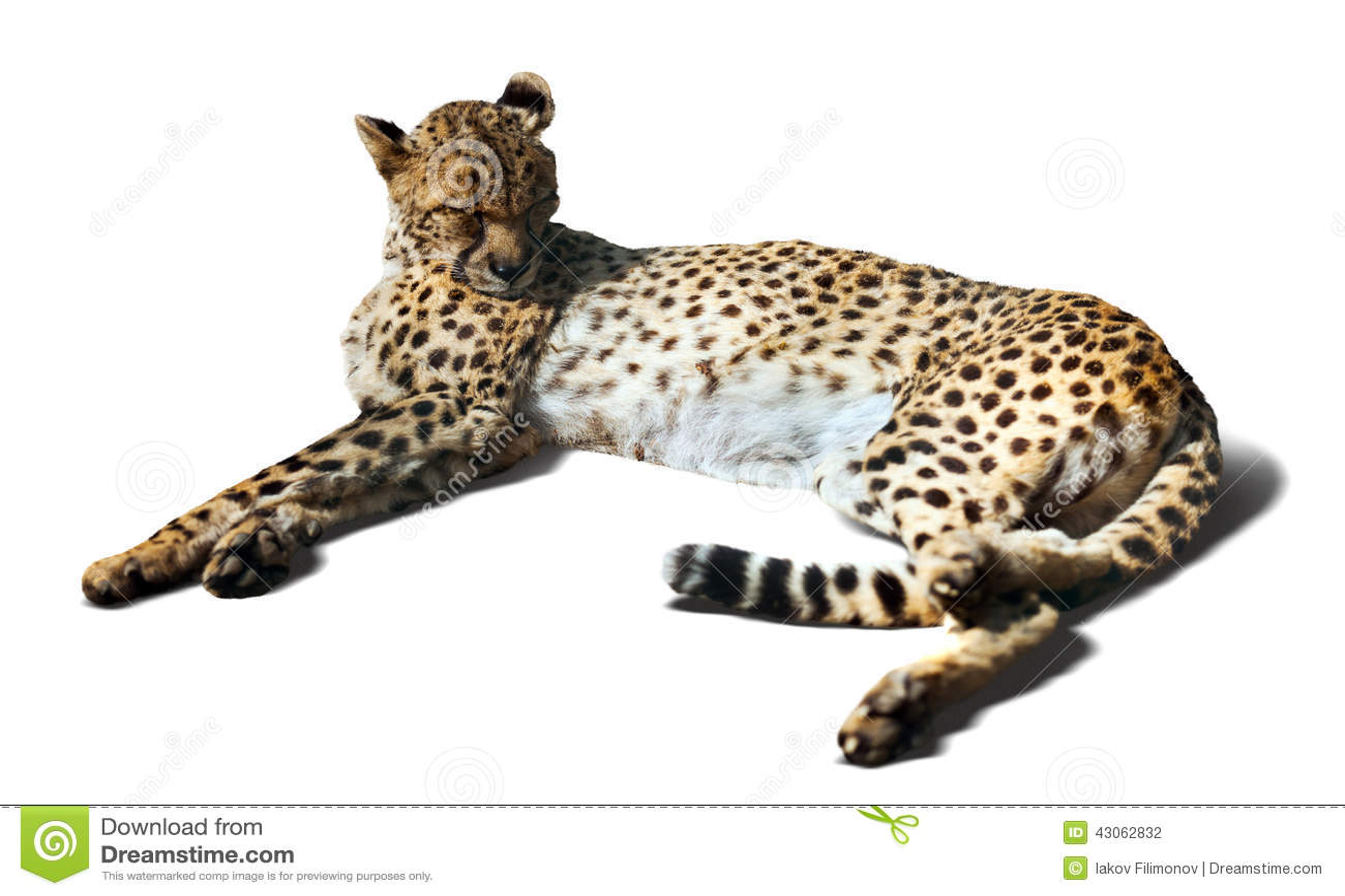 Laying Cheetah