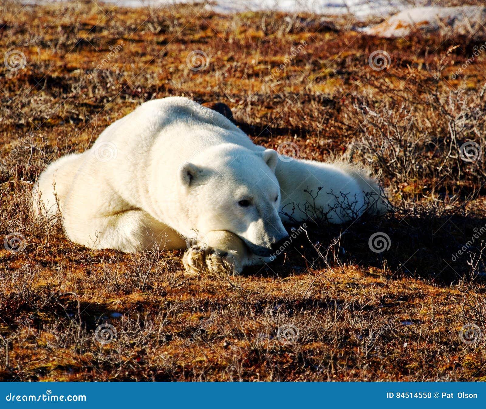 Lazing的北极熊在阳光下