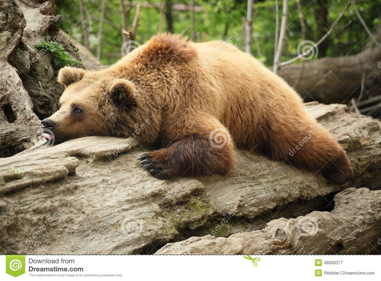 lazy bear stock image  image of single  tired  endangered