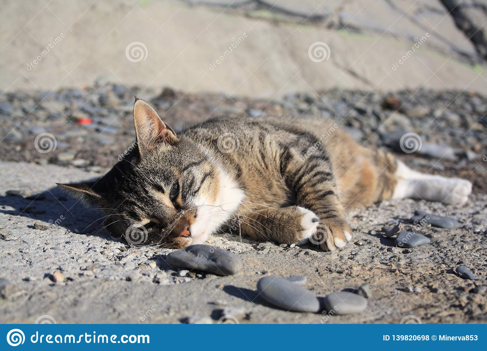 Lazy cat lying on the ground under sunlights. Spider web on its nose. Grey beach stones.