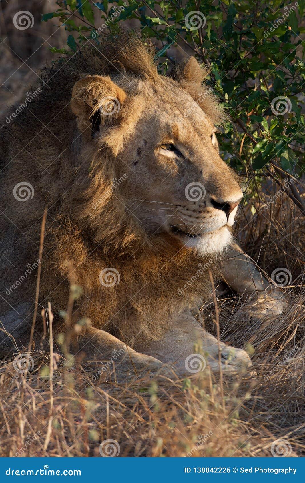 Lazy Lion in Kruger National Park