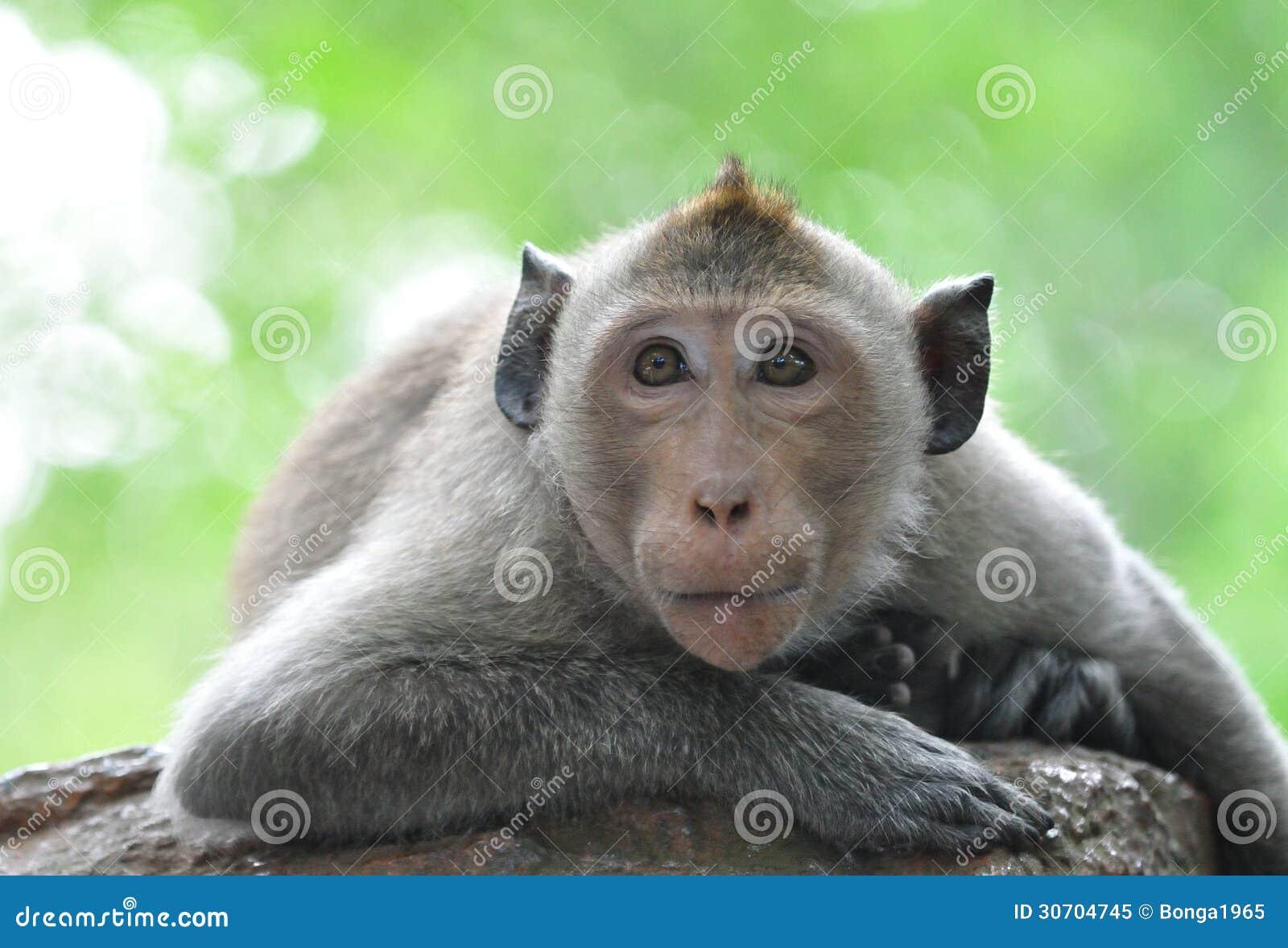 Lazy monkey .