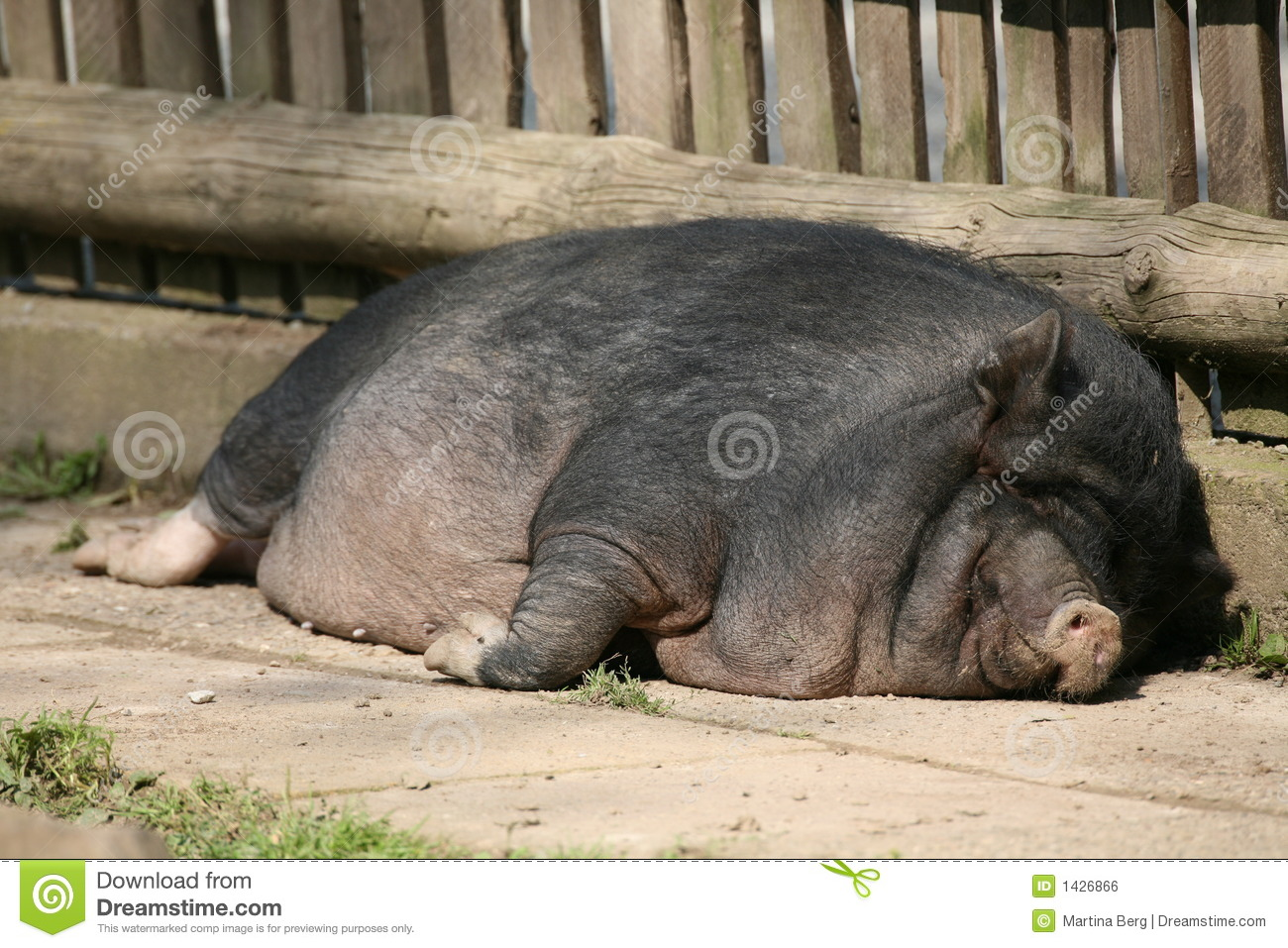ugly pigs Fat