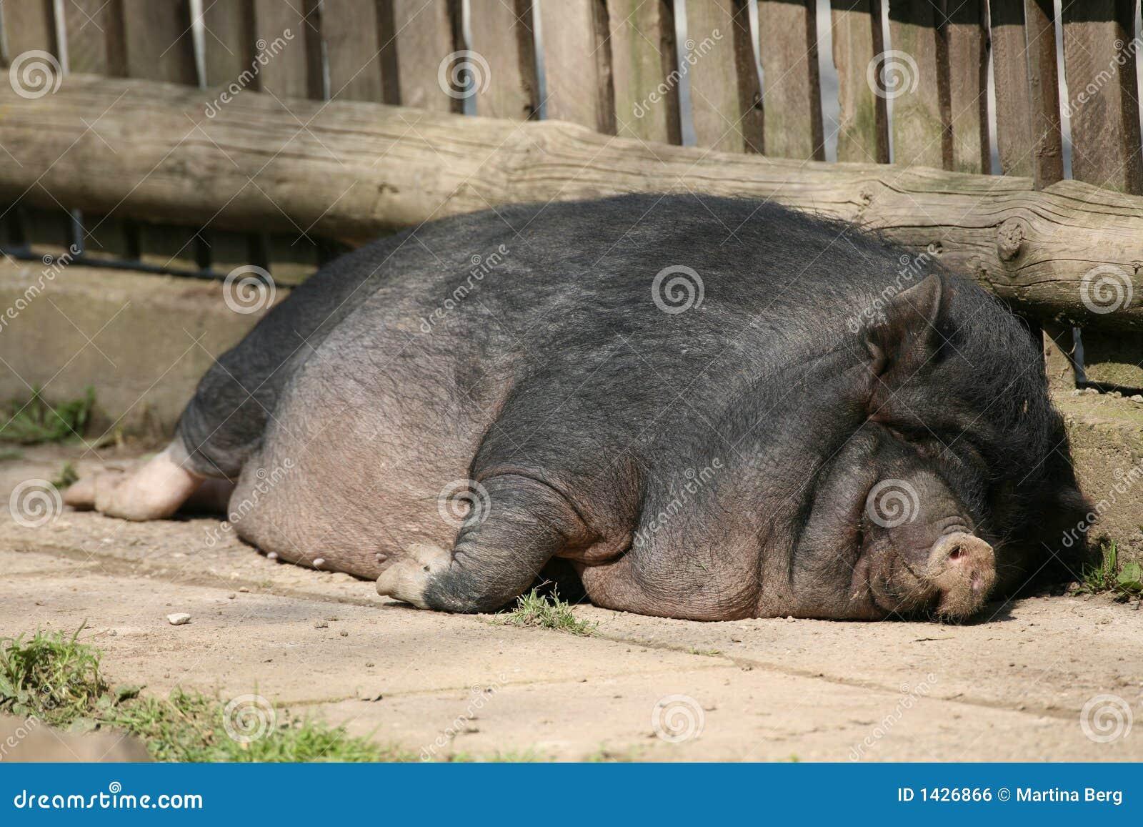 Fuck pig Videos