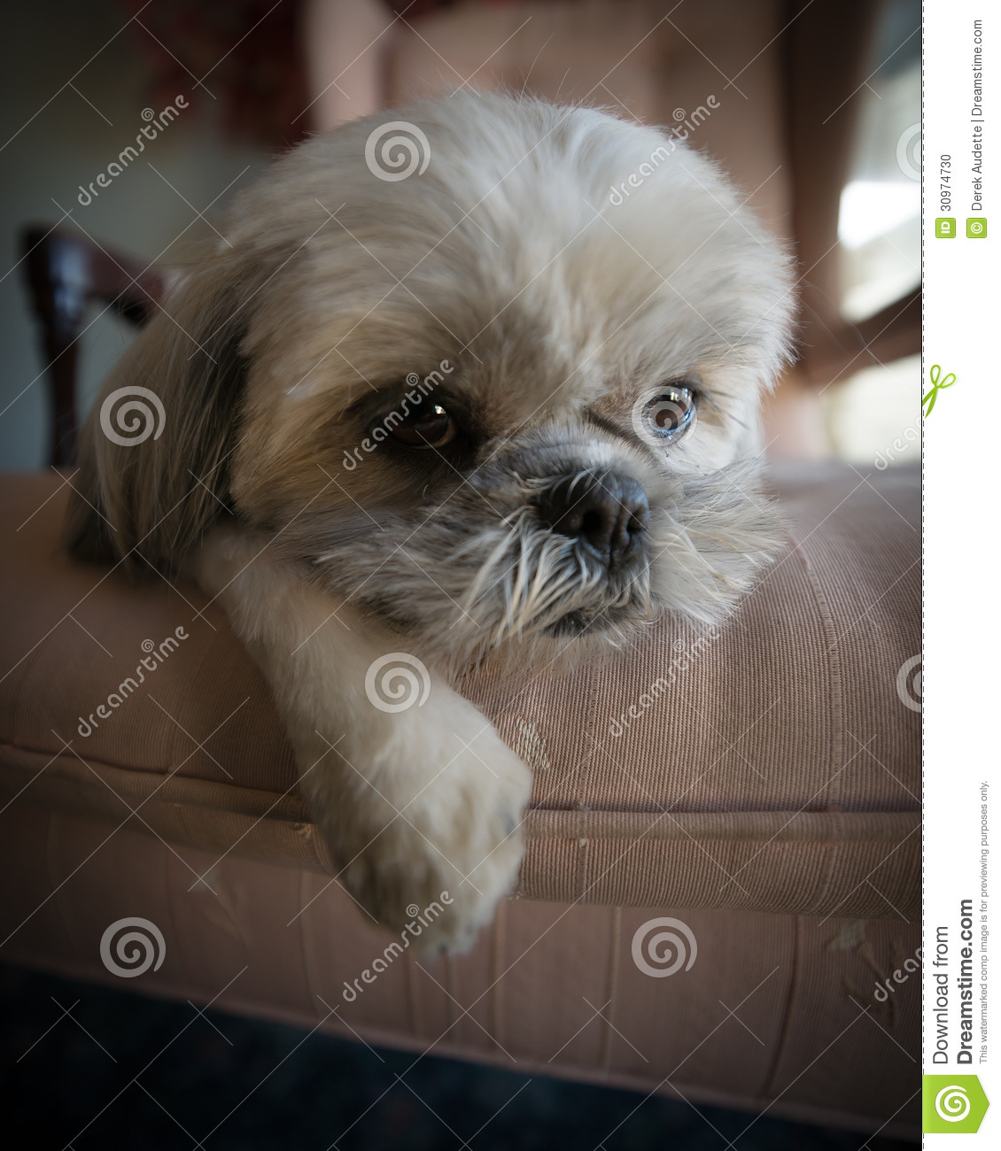 Cartoon dog stock photos images amp pictures shutterstock - Lazy Shih Tzu Puppy Lying On Chair Stock Photo Image