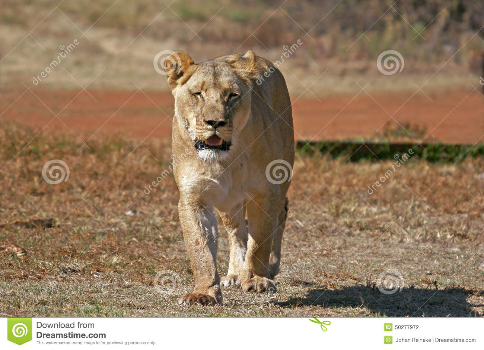Leão africano selvagem