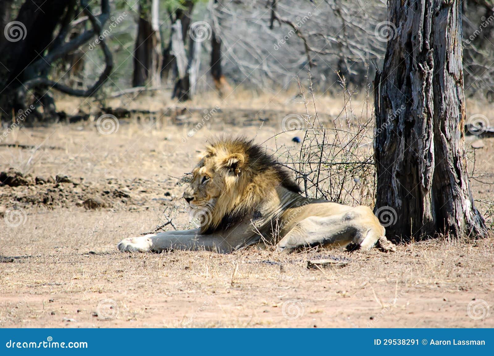 Leão de descanso