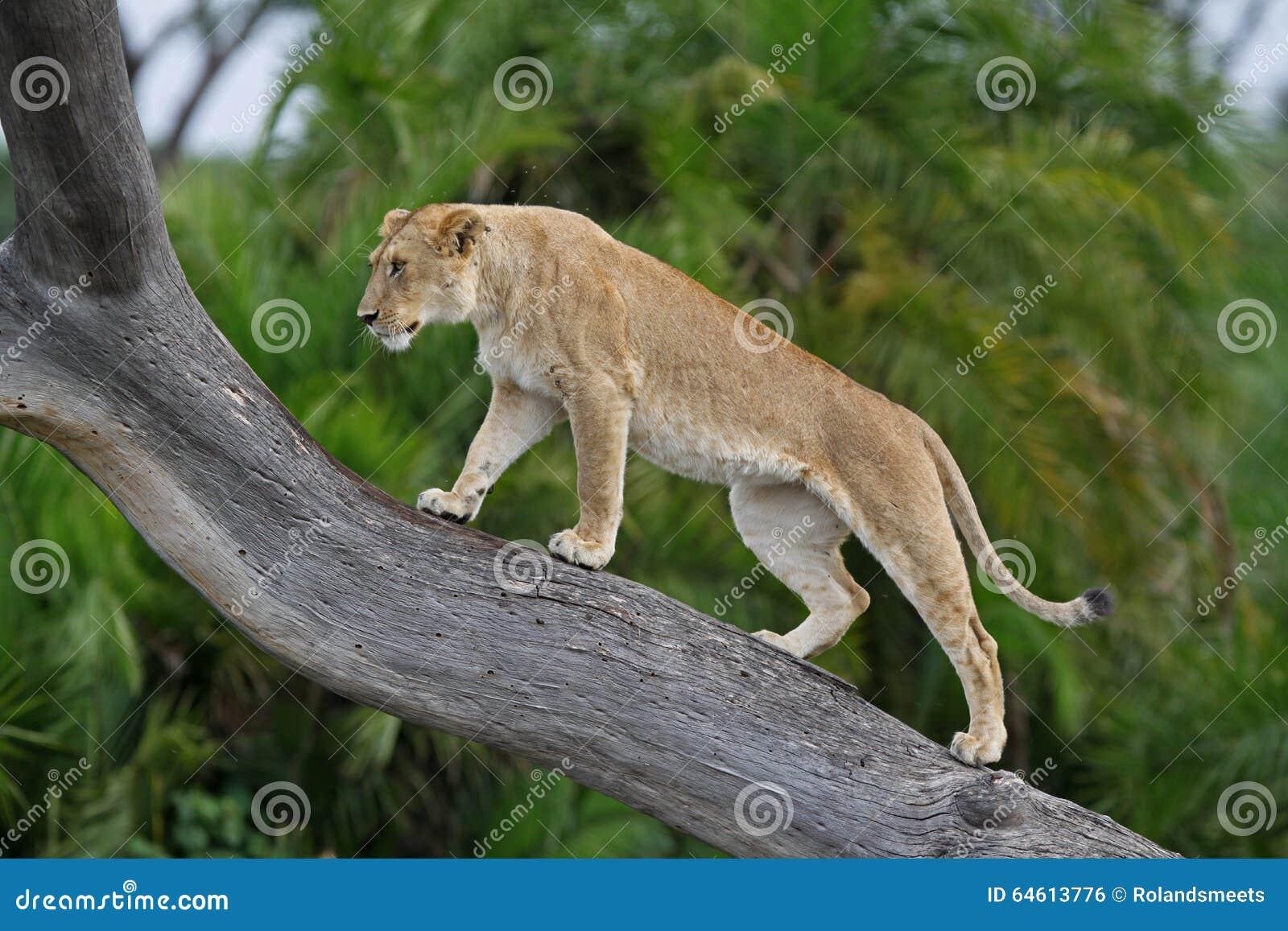 Leão de escalada da árvore