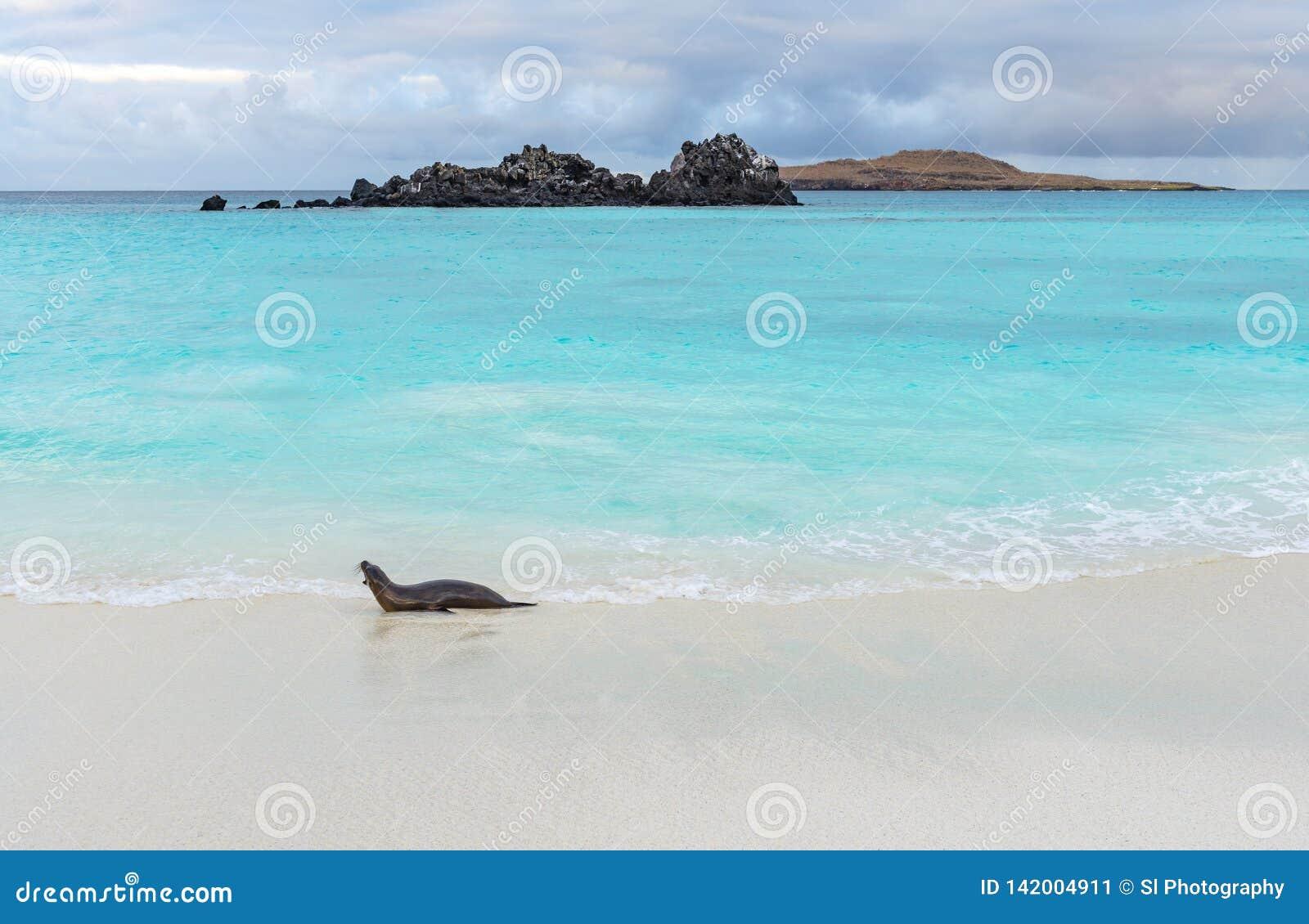 Leão de mar de Galápagos, Ilhas Galápagos, Equador