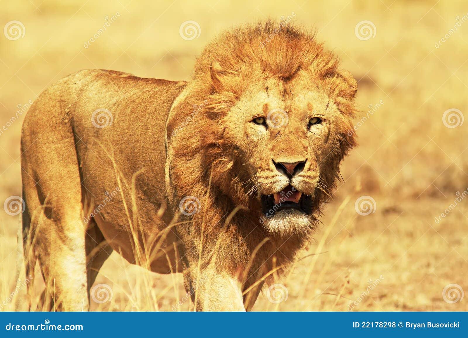 Leão de Mara do Masai