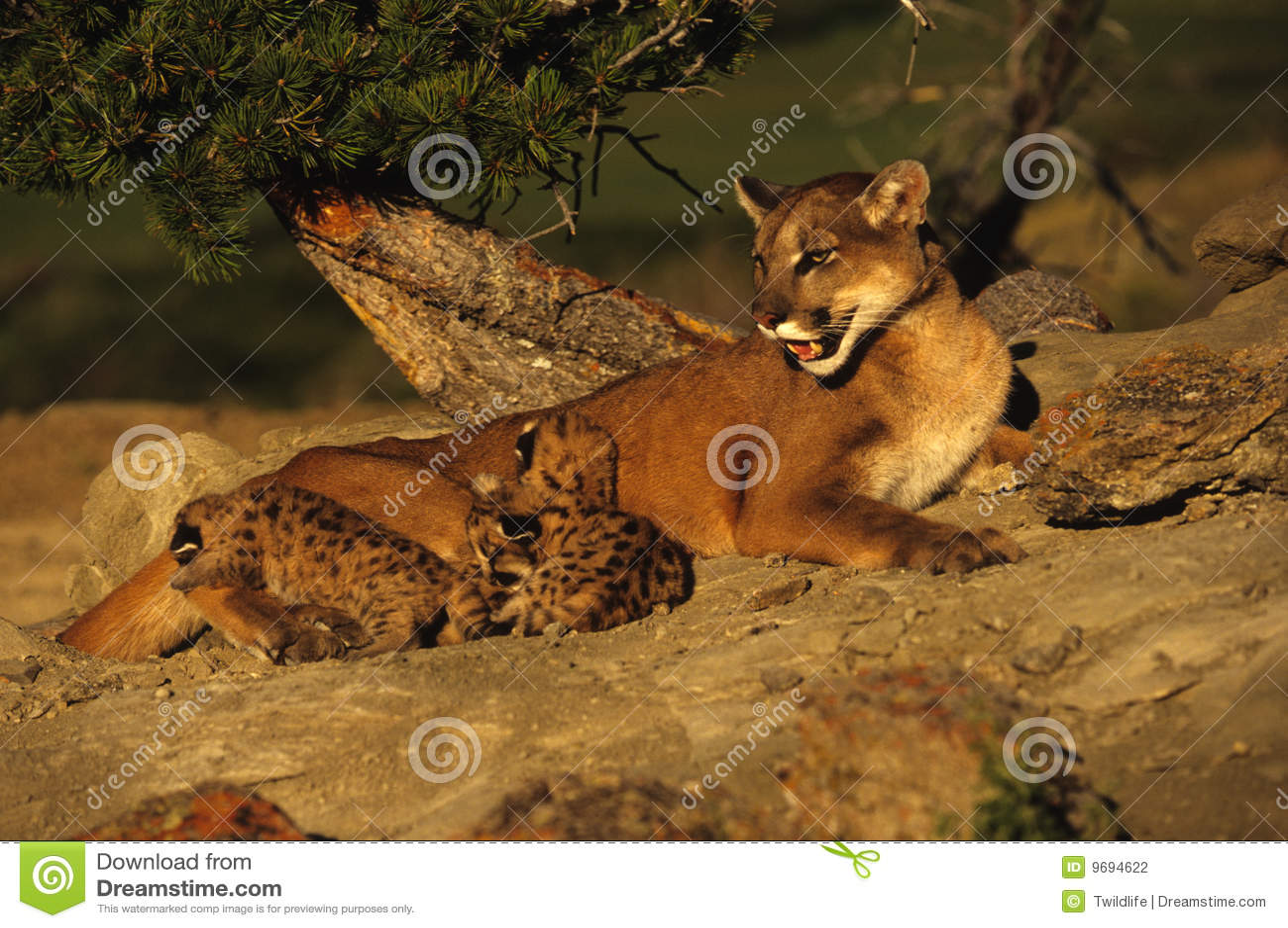 Leão de montanha com gatinhos