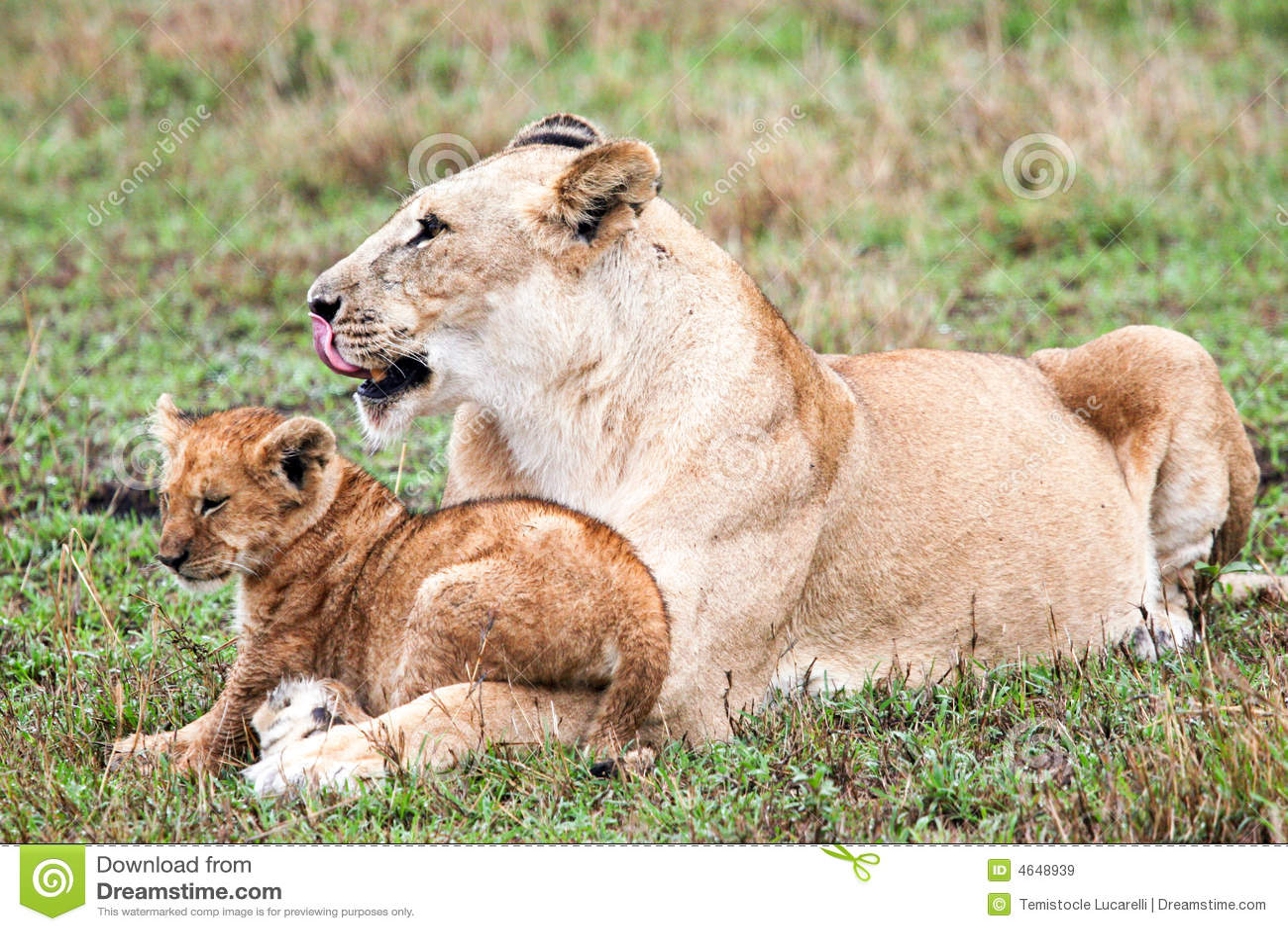 Leão e seu filhote