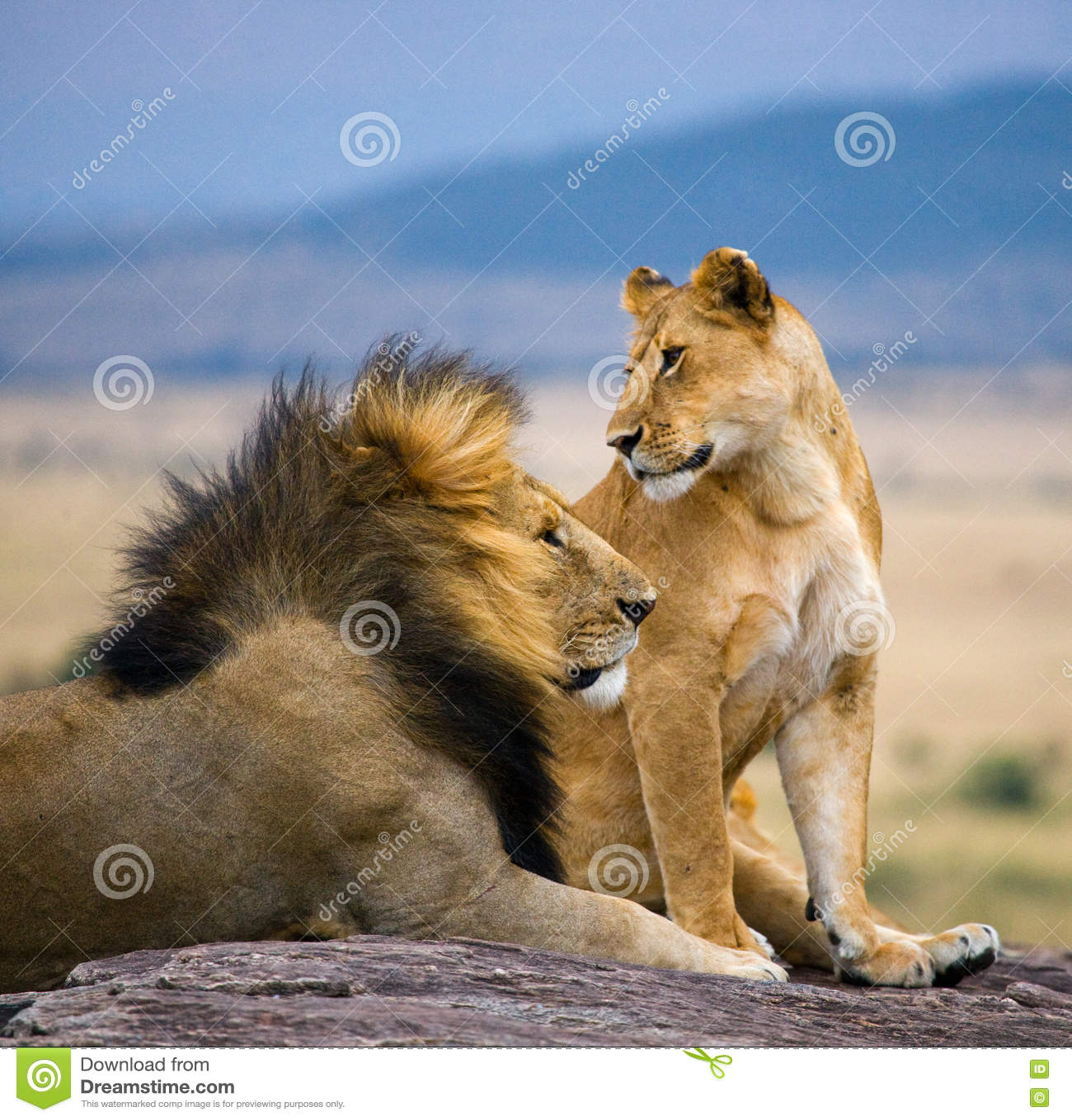 Leão masculino grande com juba lindo e leoa em uma rocha grande Parque nacional kenya tanzânia Masai Mara serengeti
