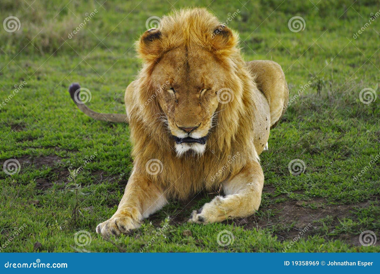 Leão masculino que descansa na grama verde, cratera de Ngorogoro