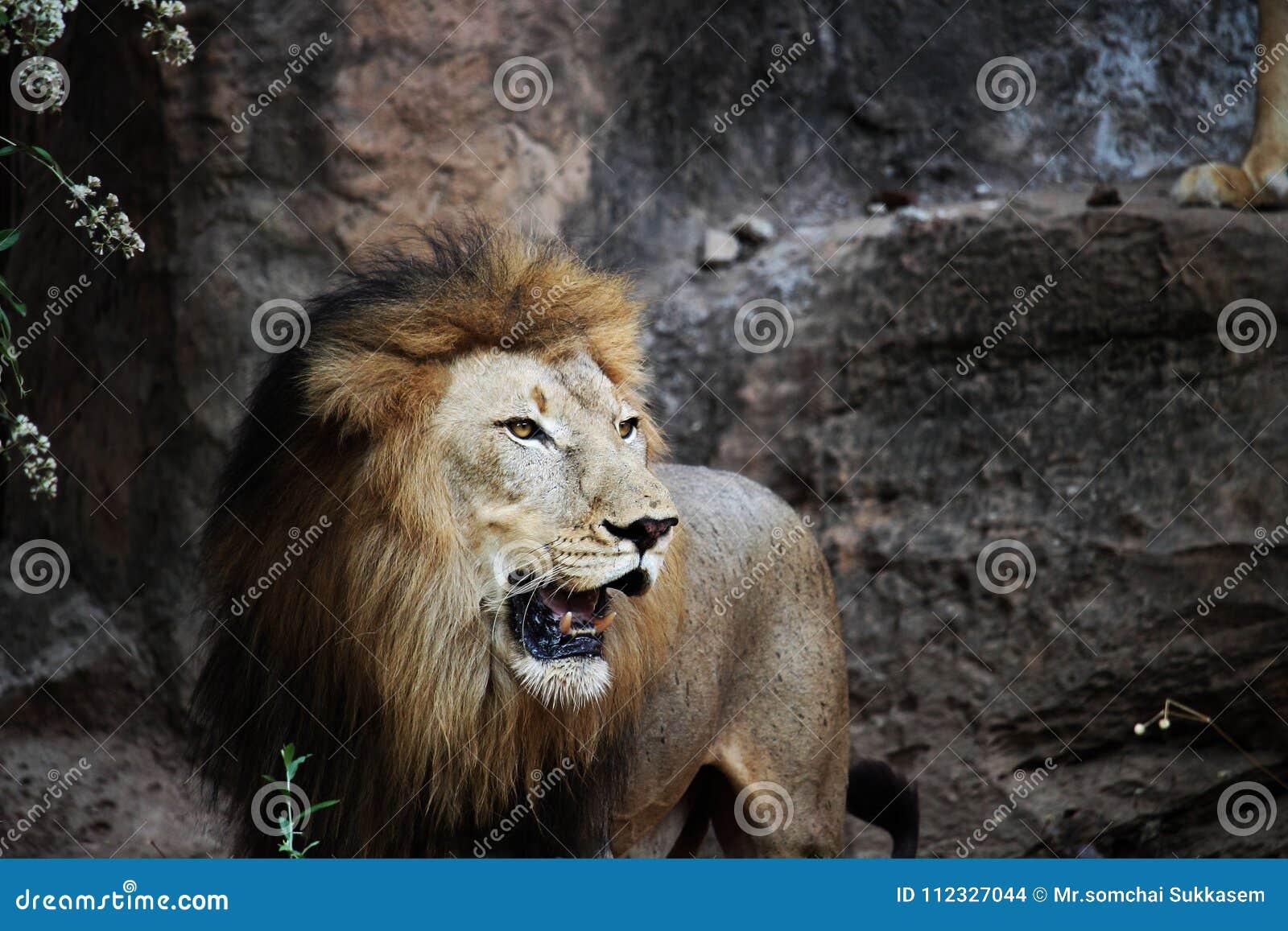 Leão que está em uma rocha