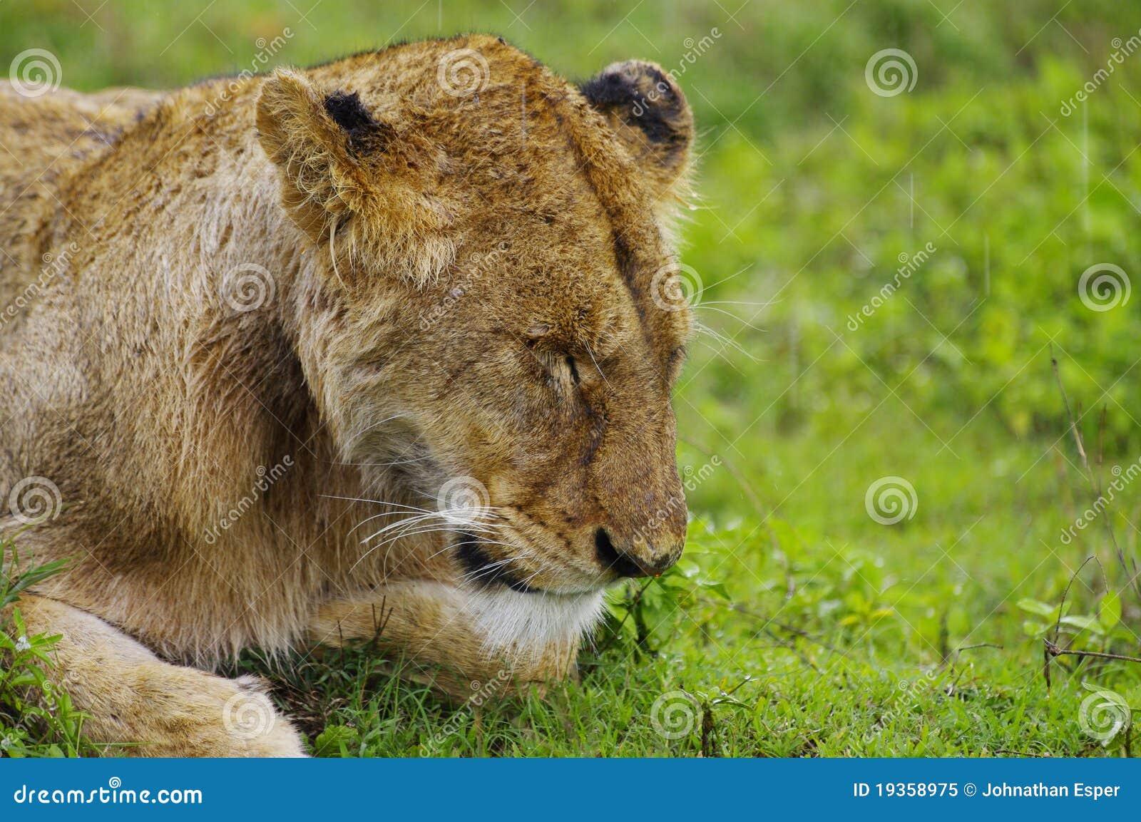Leão que napping na chuva, cratera de Ngorogoro