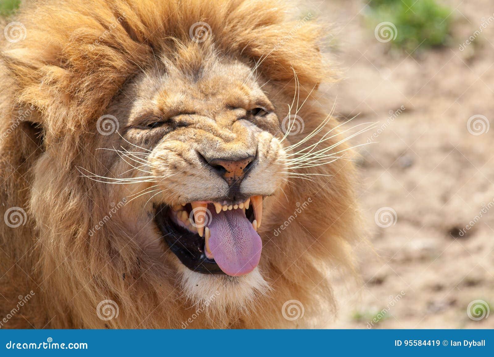 Leão que puxa uma cara funnny Língua animal e dentes caninos