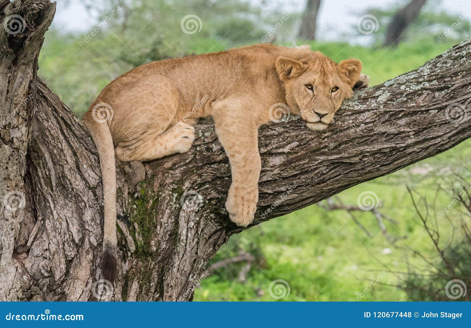 León africano en árbol