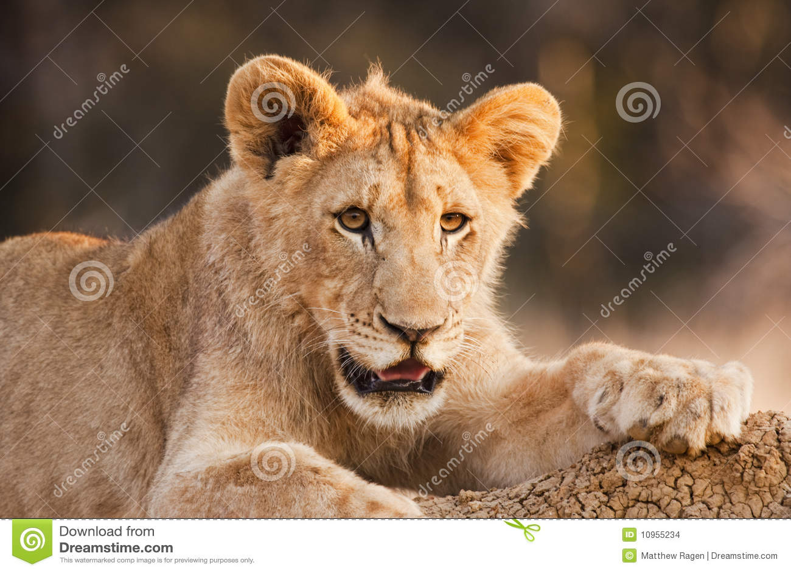 León Cub masculino en descanso