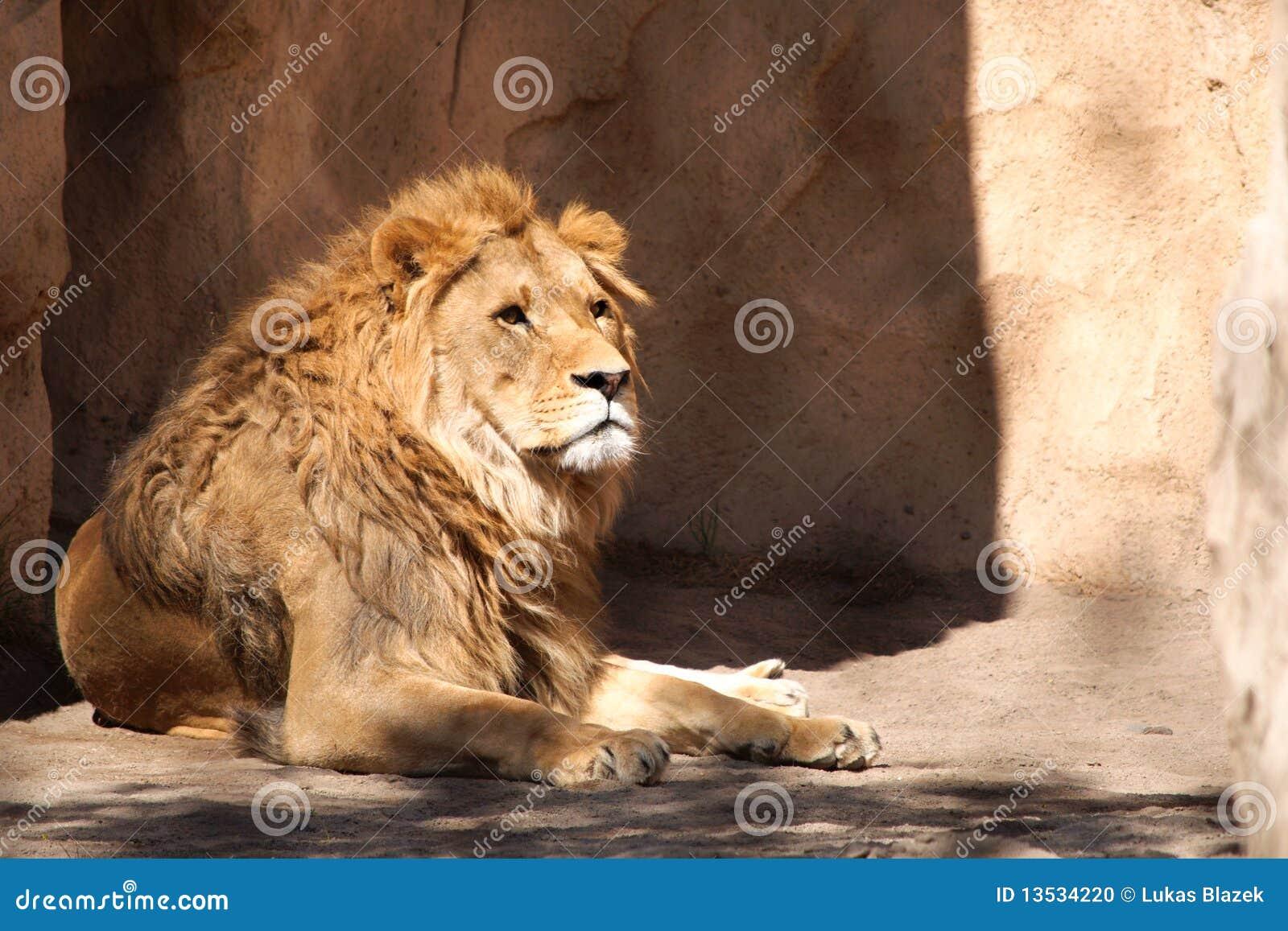 León en el parque zoológico de Dresden