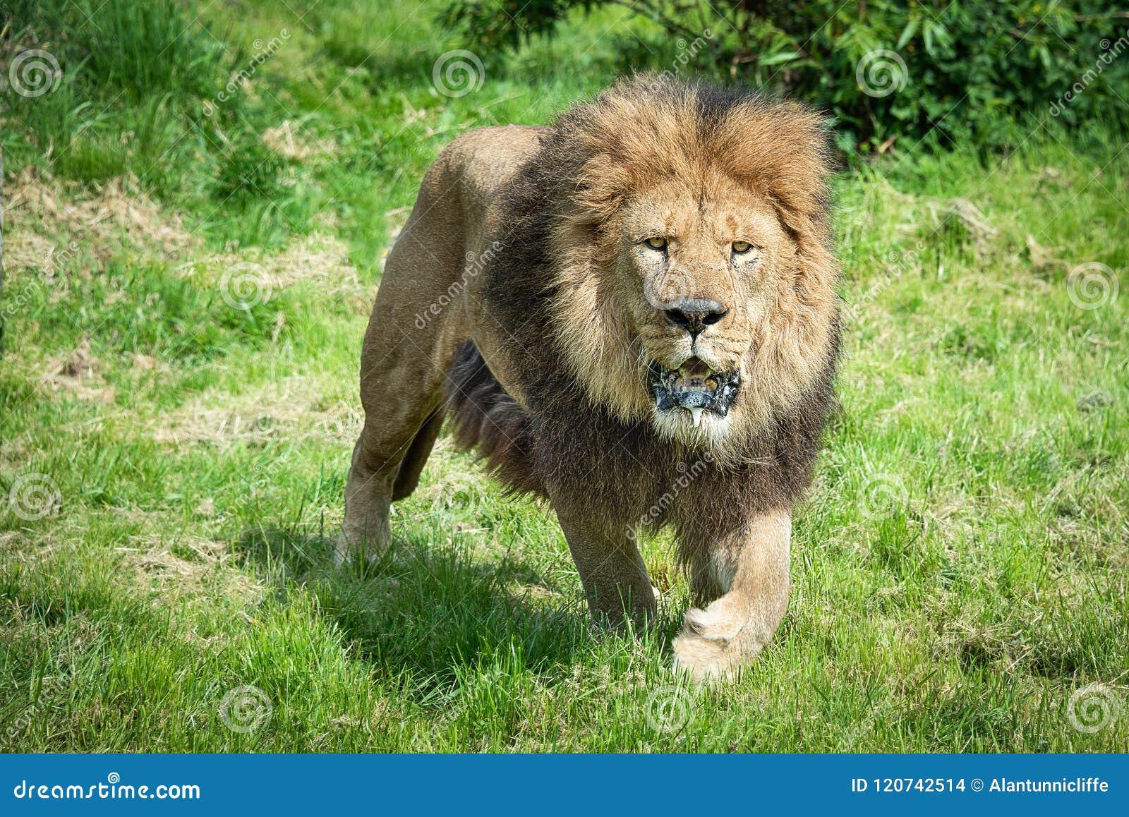 León en el vagabundeo
