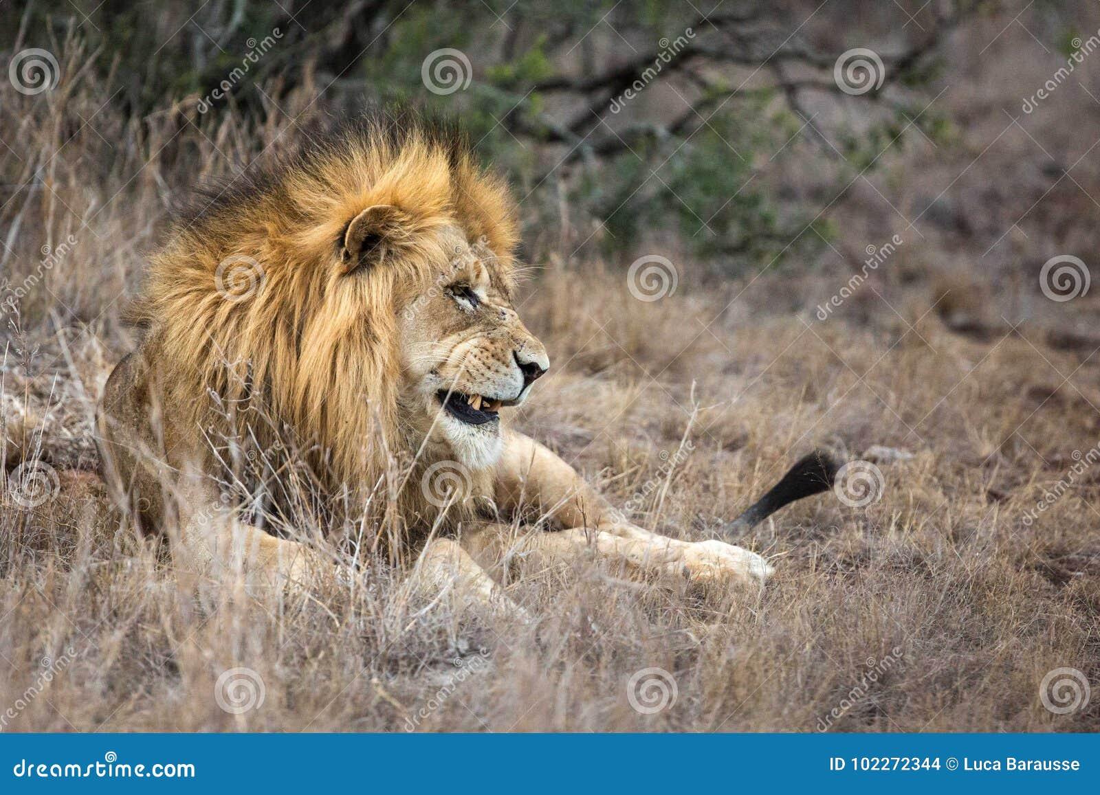 León en hierba en el parque del safari de la reserva del juego