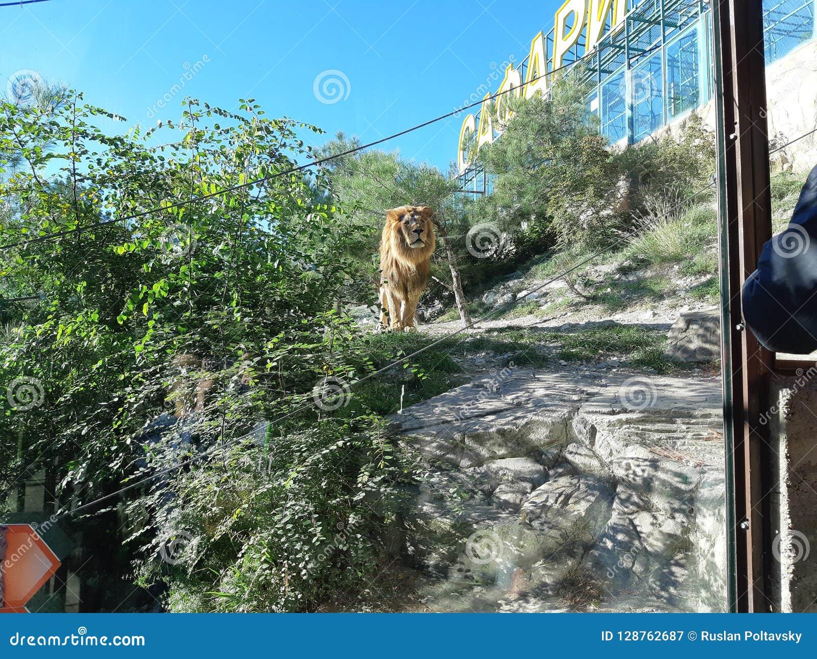 León en parque del safari