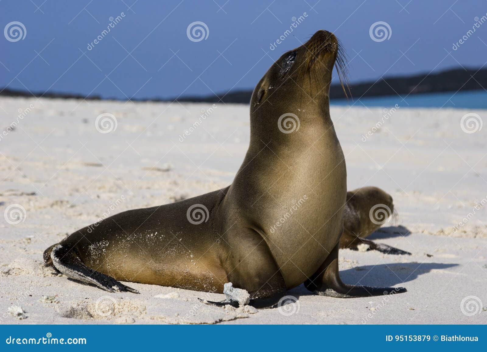 León marino de las Islas Galápagos