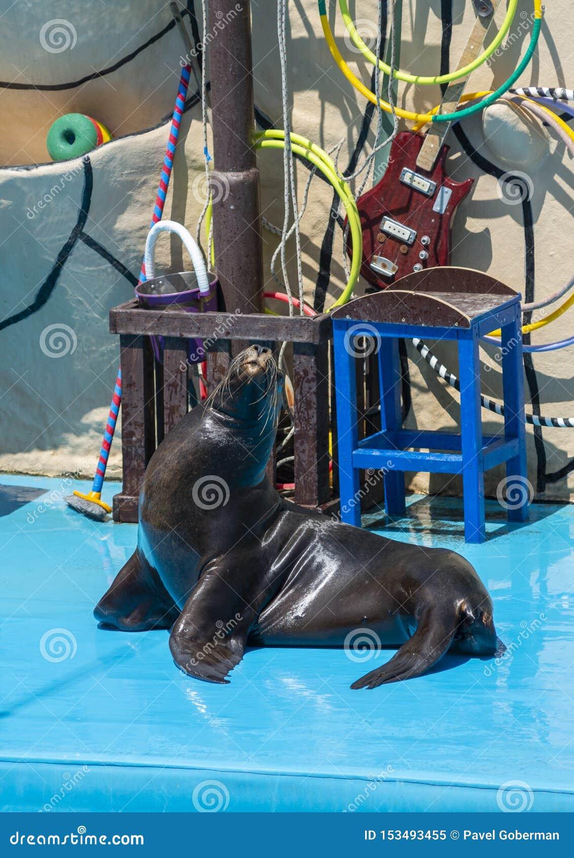 León marino en etapa en el Dolphinarium