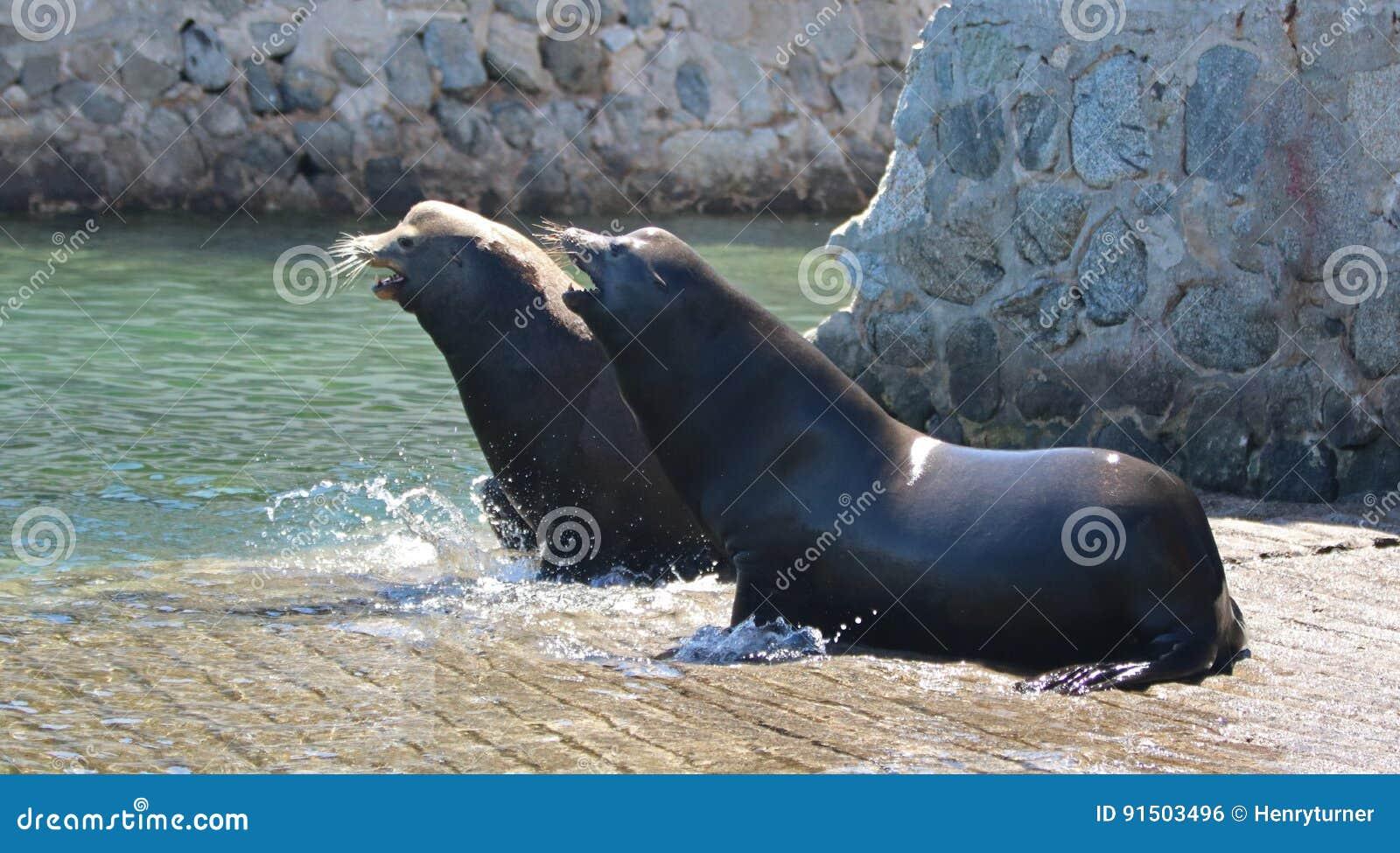 León marino masculino dominante de California que persigue lejos otro león marino después de luchar en el lanzamiento del barco d
