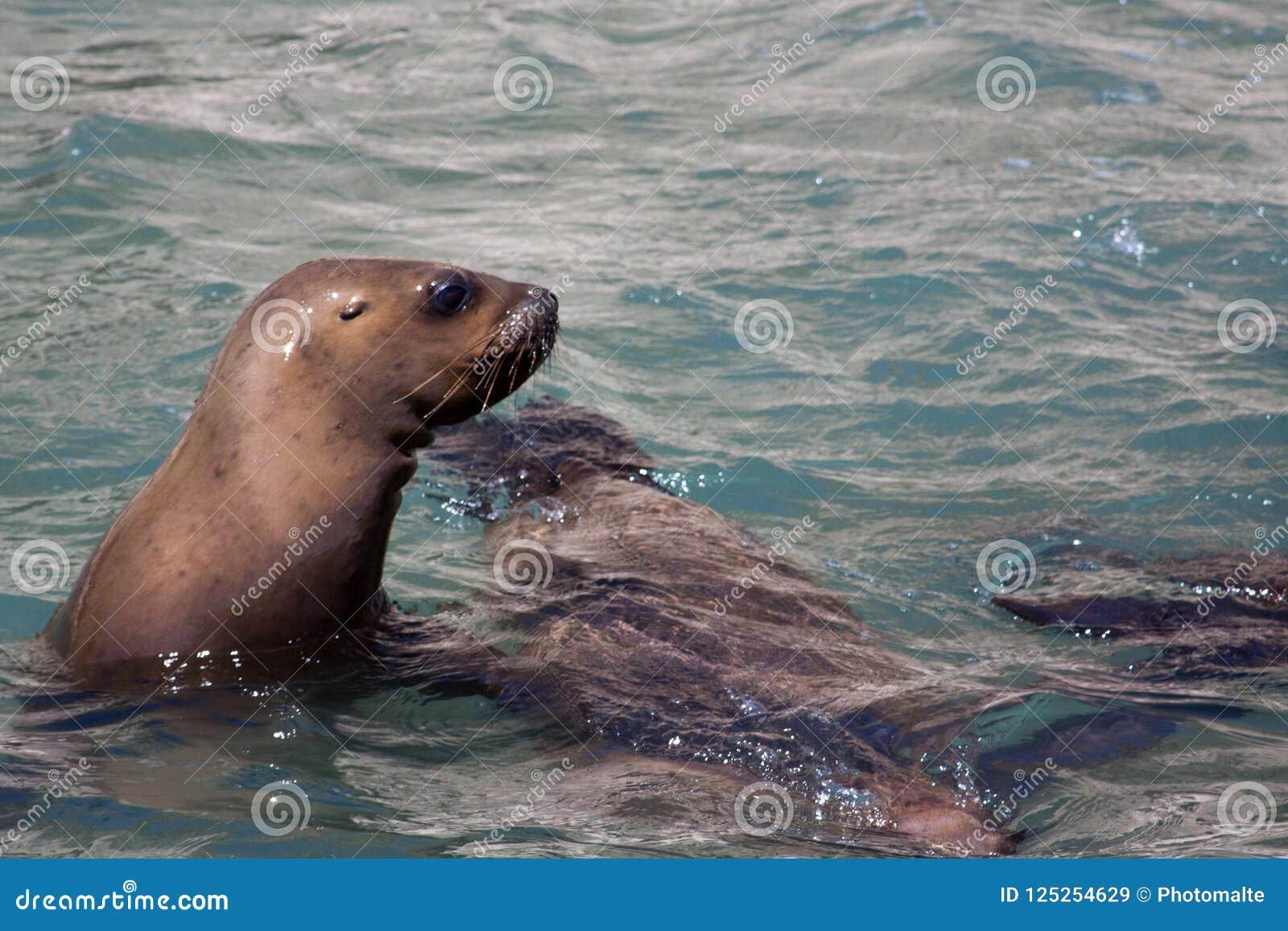 León marino que mira sobre el agua