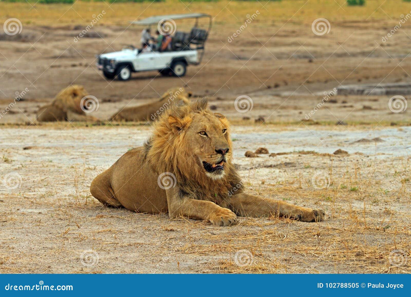 León masculino africano grande que descansa sobre los llanos con un camión del safari en el fondo, parque nacional del hWANGE