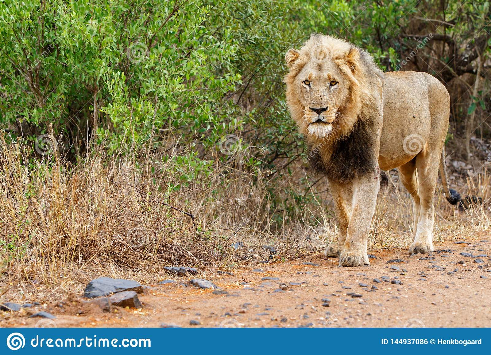 León masculino en Kruger NP - Suráfrica