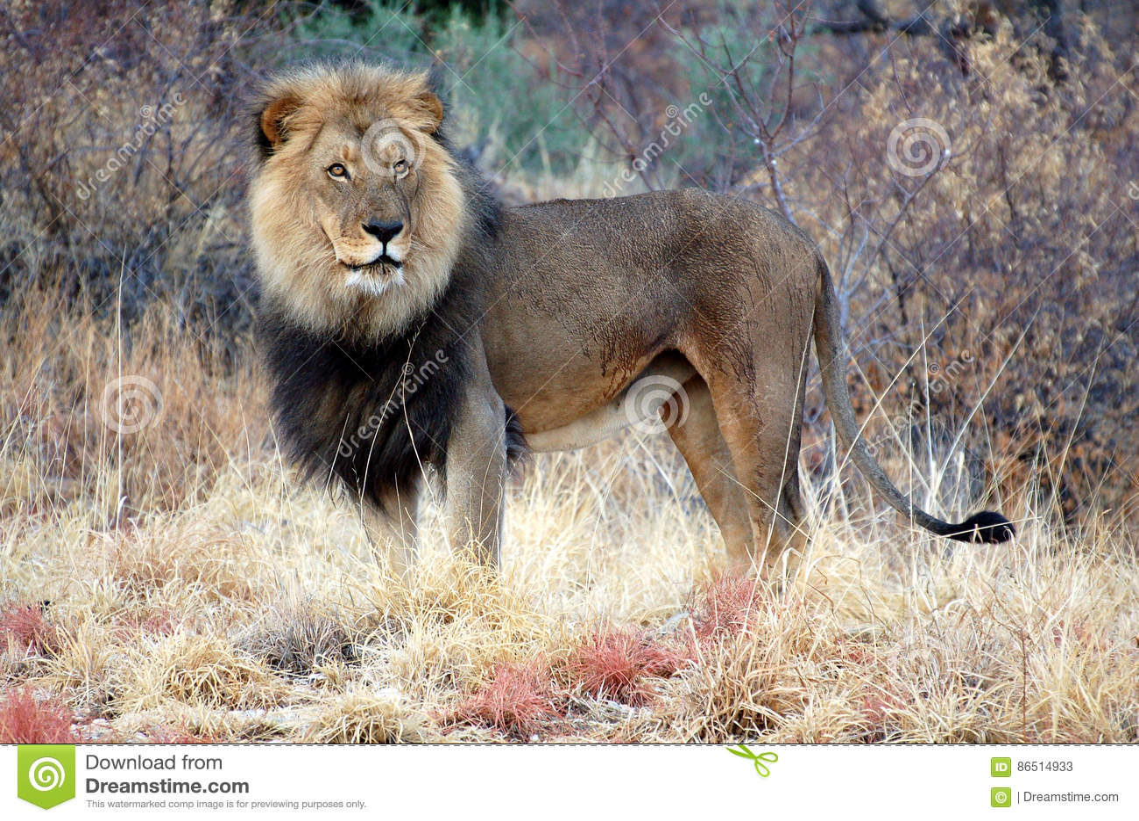 León masculino maravilloso en la sabana de Namibia