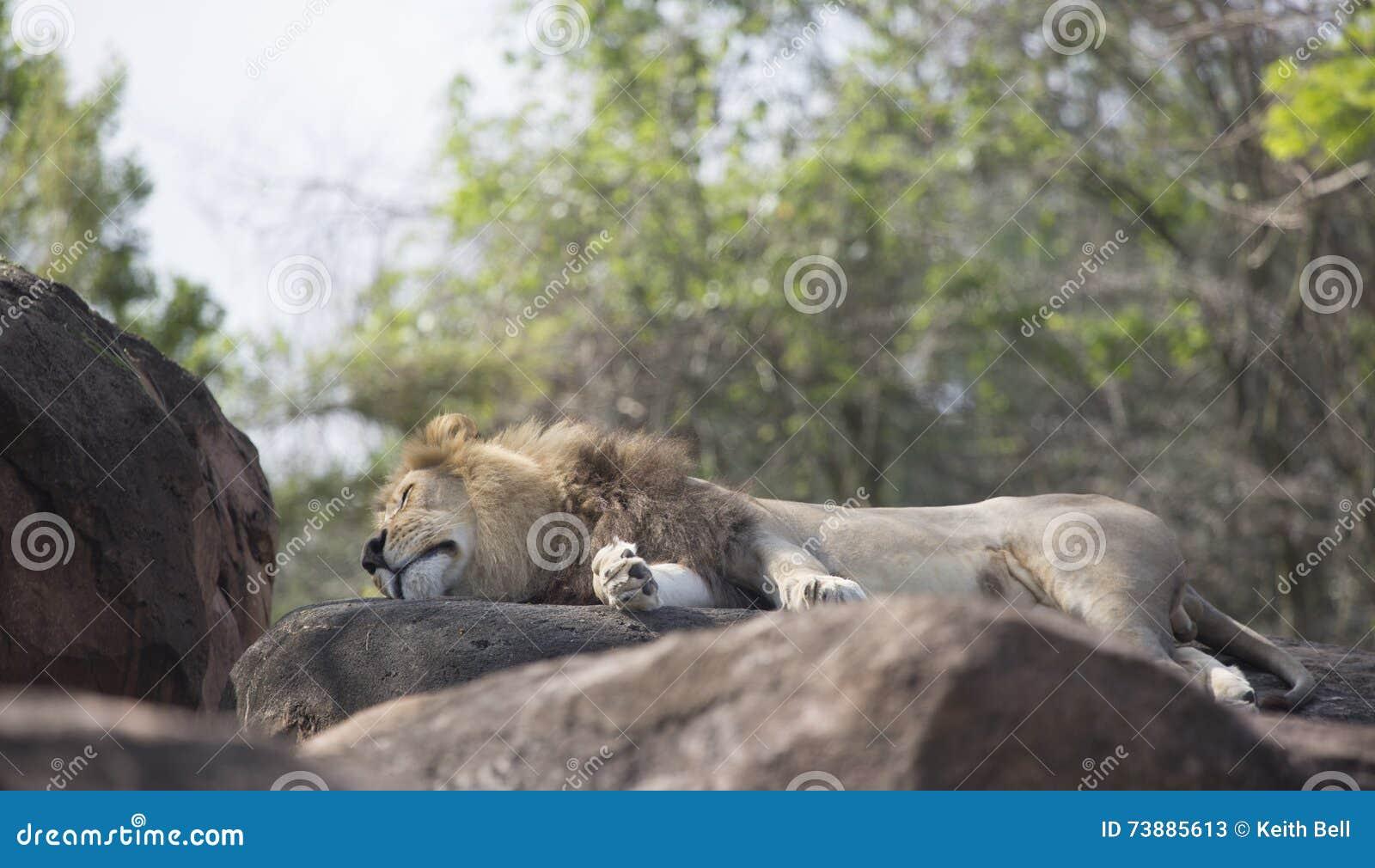 León masculino que duerme en rocas