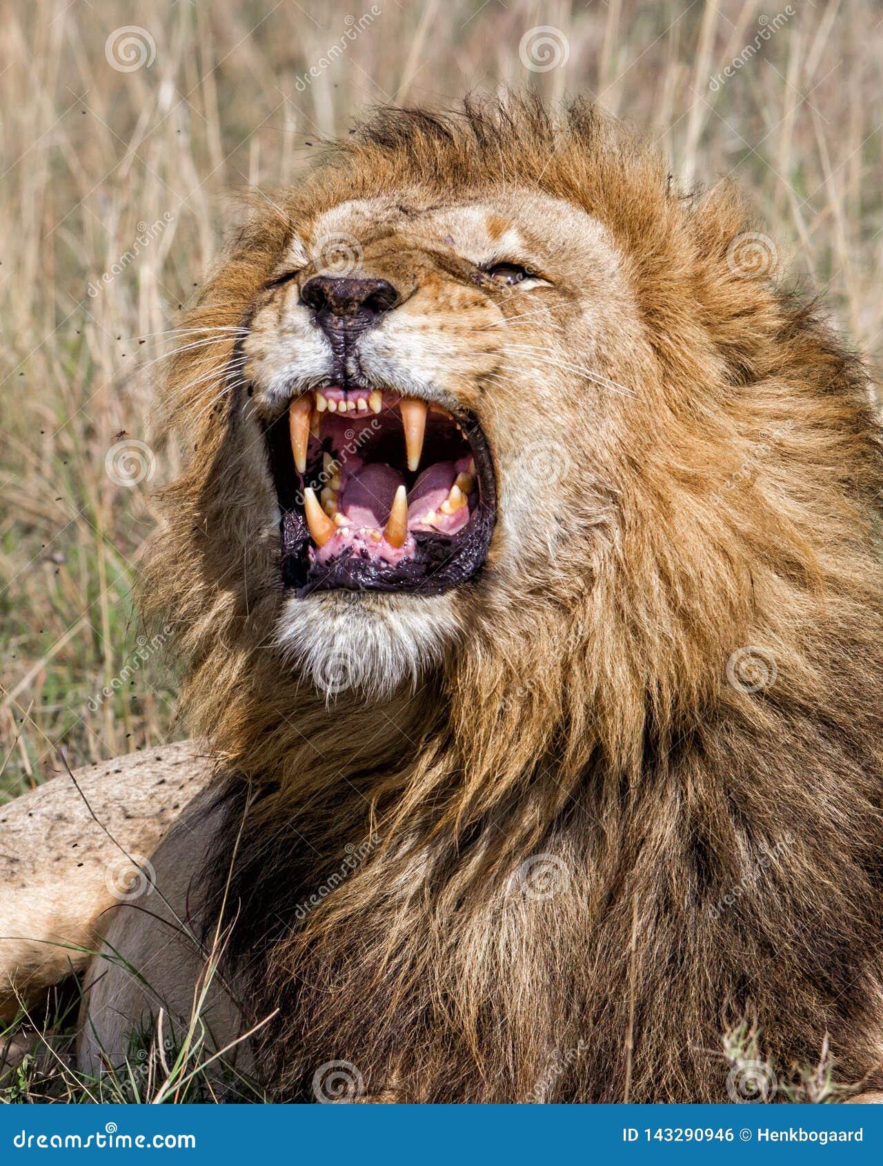 León masculino que gruñe en Masai Mara NP