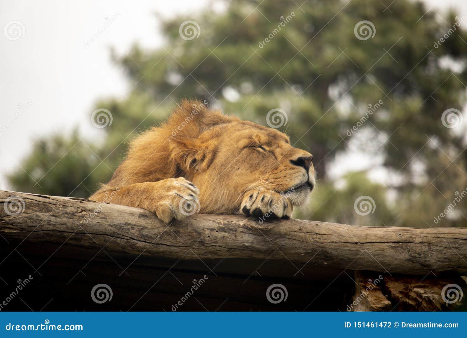 León que duerme en un registro