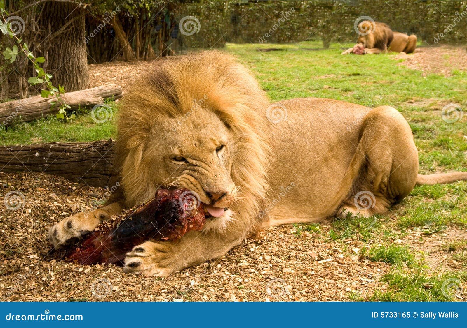 León que mastica la carne
