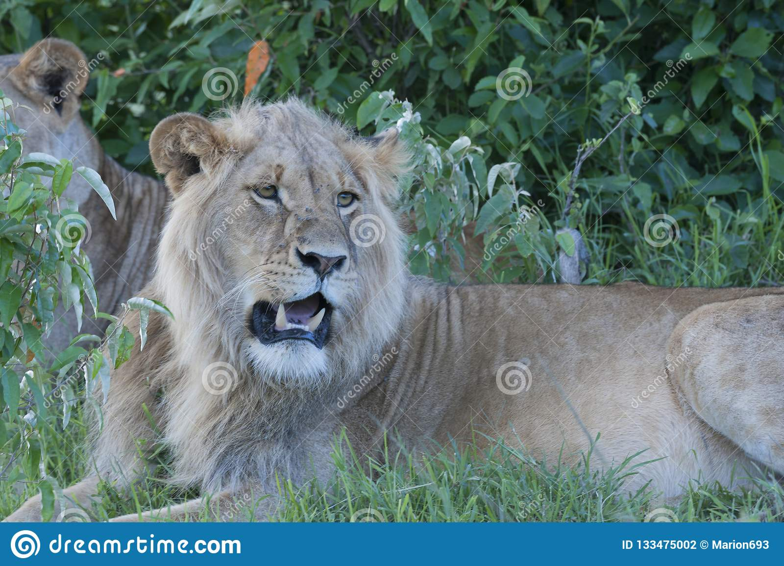 León que se sienta debajo de árbol con la leona en fondo,
