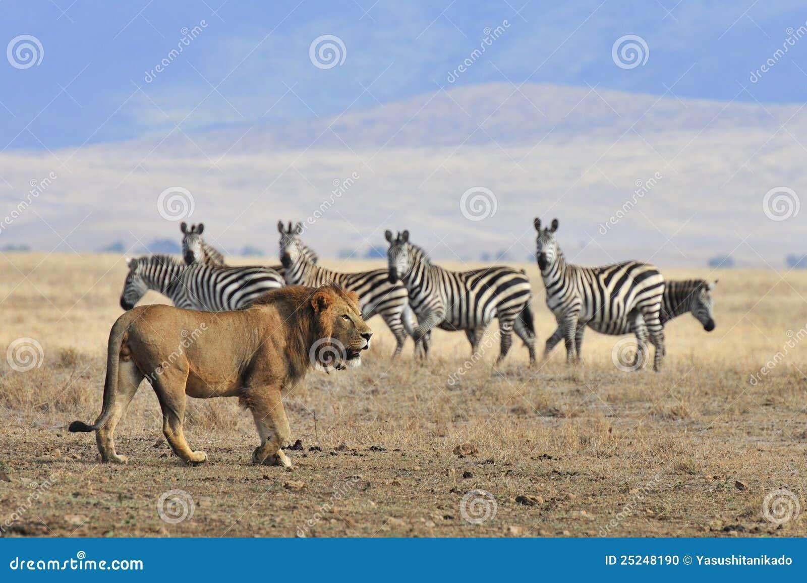 León y cebra foto de archivo. Imagen de safari, drama - 25248190