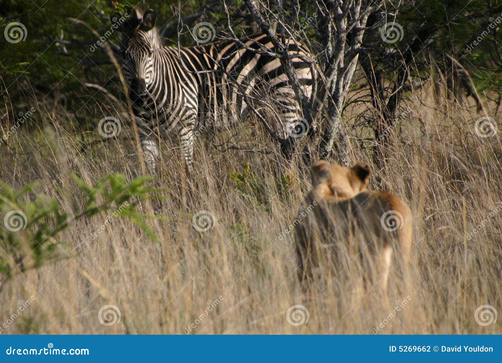 León y cebra foto de archivo. Imagen de animal, carnívoro - 5269662