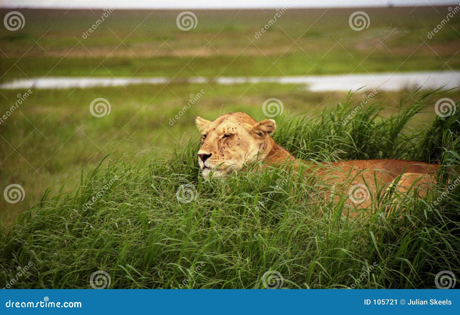 Leões na vigia 5