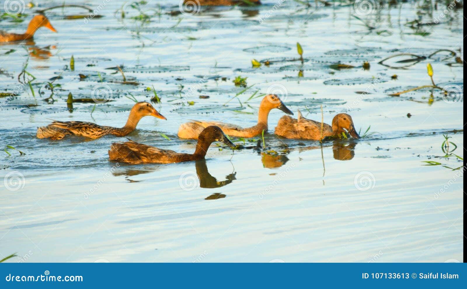 Le anatre che nuotano nel fiume