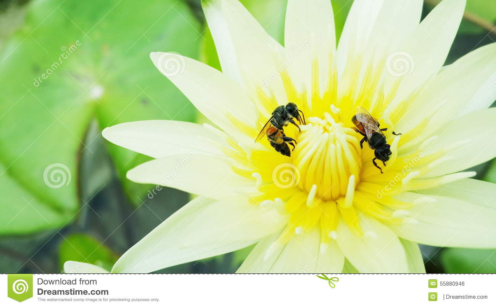 Le api raccolgono il nettare per produrre il miele