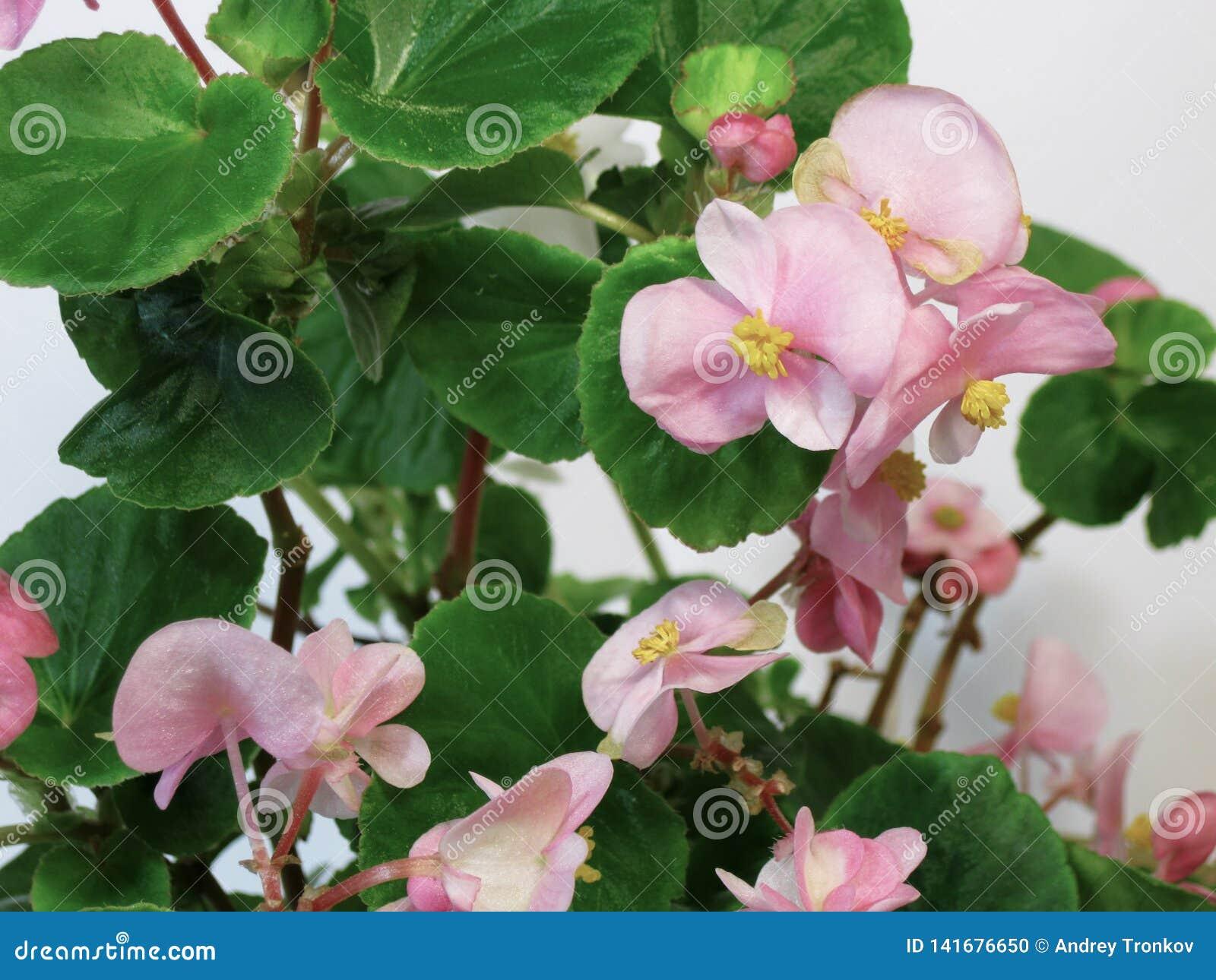 Le bégonia est une plante ornementale avec les feuilles bariolées très belles de diverses formes et de fleurs lumineuses inoublia